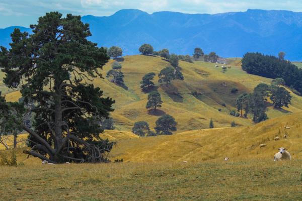 Cenário Bucólico em Matamata e que inspirou a construção de Hobbiton