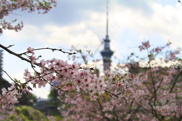 Florada Cerejeiras em Auckland