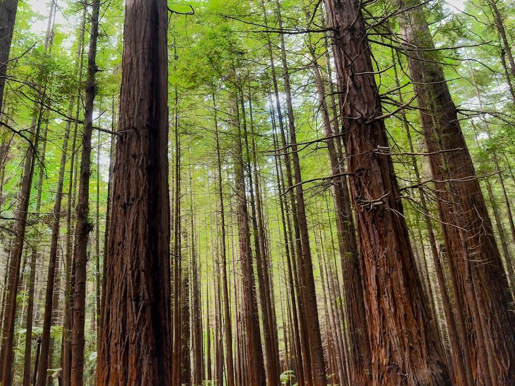 Floresta de Sequóias em Rotorua